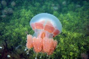 Keunikan Ubur Ubur Hewan Laut Dengan Ribuan Spesies