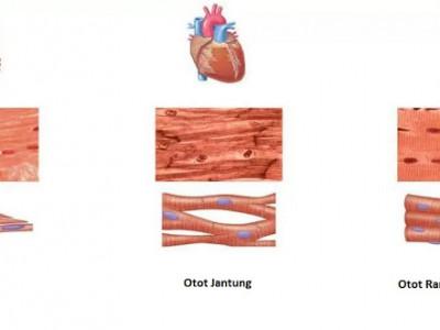 Jaringan Otot Otot Lurik Otot Polos Otot Jantung