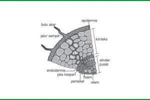 Mengenali Struktur Anatomi Akar Tumbuhan Dan Bagian Bagiannya