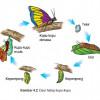 49++ Contoh hewan metamorfosis sempurna nyamuk terupdate