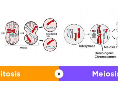 Fase Fase Pembelahan Sel Secara Mitosis Dan Meiosis Lengkap