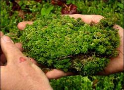 Mengapa lumut penting bagi lingkungan?