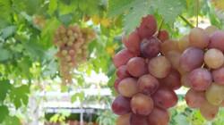 Menilik Kampung Anggur di Bantul, Destinasi Wisata Edukasi yang Bisa Kamu Kunjungi di Akhir Pekan!