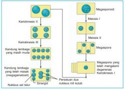 Proses Pembentukan Pada Tumbuhan Berbiji : Mikrosporogenesis dan Makrosporogenesis