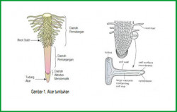 Fungsi Rambut Akar dalam Proses Penyerapan Air dan Hara Tanah