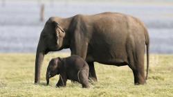 Fakta Unik tentang Gajah