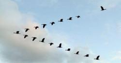 Ini alasan burung terbang dalam formasi huruf V, menakjubkan!