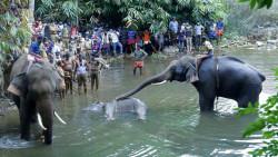 Gajah yang Tengah Hamil Ini Mati Setelah Makan Nanas Berisi Petasan. Kejam Sekali ya Manusia!