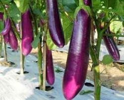 Cara Menanam Terung, Tanaman Sayur yang Tumbuh Subur di Musim Kemarau