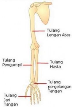 Tulang Anggota Gerak Atas dan Jumlahnya
