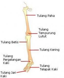 Tulang Anggota Gerak Bawah dan Jumlahnya