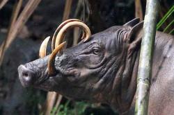 Mengenal Babi Rusa, Hewan Langka yang Hanya Ada di Sulawesi