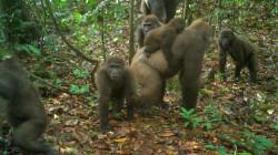 Foto Pertama Gorila Paling Langka di Dunia Bersama Bayinya
