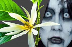 Sering Dianggap Mistis, Ini 8 Manfaat Bunga Kantil