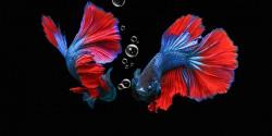 20 Jenis Ikan Cupang yang Bisa Anda Pilih untuk Dipelihara