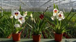 Anggrek Phalaenopsis, Tanaman Hias Unggulan Eksotik Indonesia