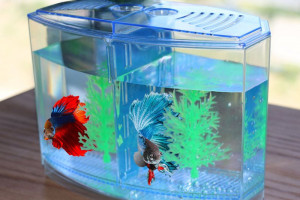 9 Cara Merawat Ikan Cupang Agar Warnanya Bagus Cantik Dan Sehat