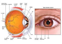 Bagian-bagian Mata, Fungsi dan Jaringan Penyusun