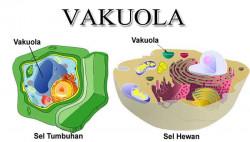 Fungsi Dari Organel Vakuola