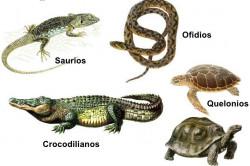Reproduksi Pada Reptil