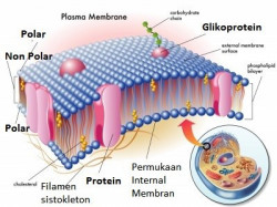 Transpor pada Membran Sel